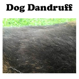 Dog dandruff is common in winter but is easily treated at home.