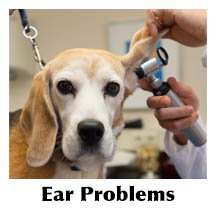 Vet examining dog's ear