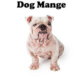 Dog mange is highly contagious so effective treatment is needed.