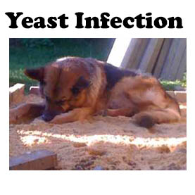 Yeast infection in dogs can be treated effectively at home.