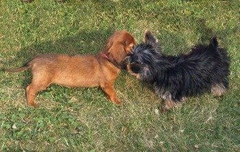 Two puppies learning to socialize.