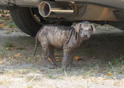 puppy dog with mange