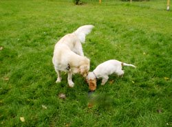 Puppy spaniel meeting an adult golden retriever.
