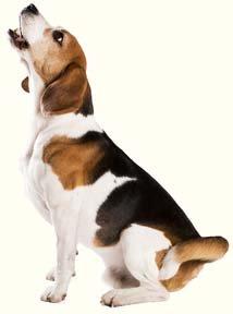 Beagle dog howling.