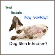 Skin infections in dogs.