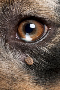 A deer tick on a dog needs to be removed.