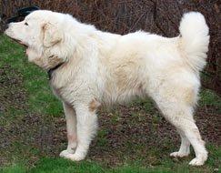 White fluffy dog.